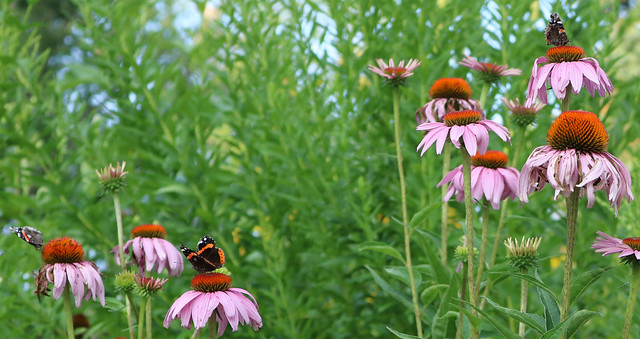 three red admirals, each on its own purple coneflower within 3 feet of each other