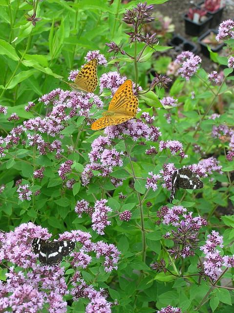 Oreganum vulgare & butterflies