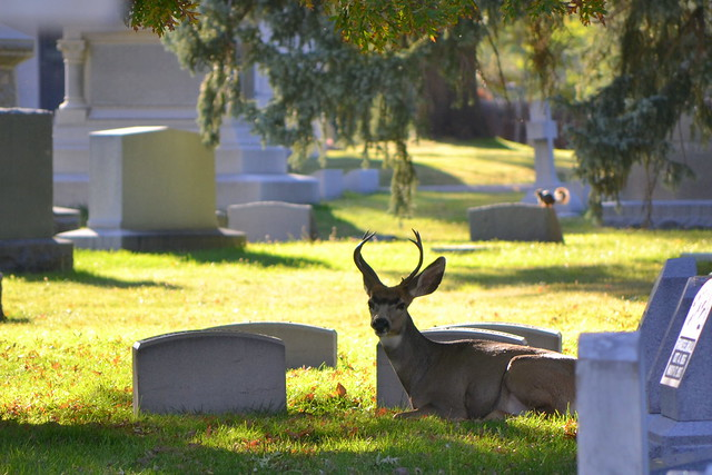 Deer at Fairmount Cemetery