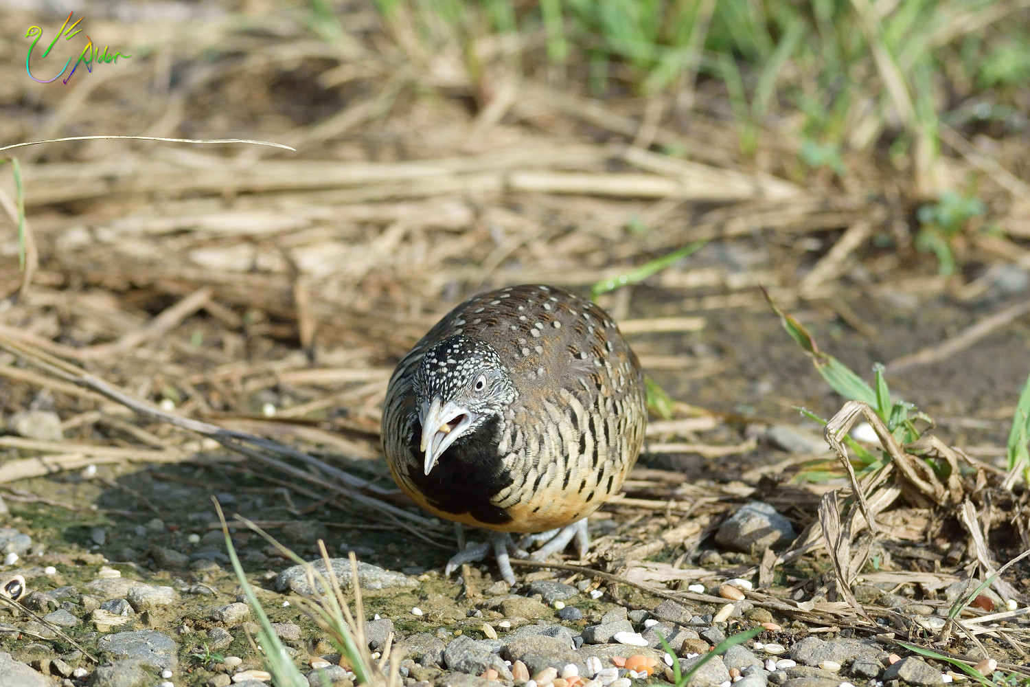 Barred_Buttonquail_1121