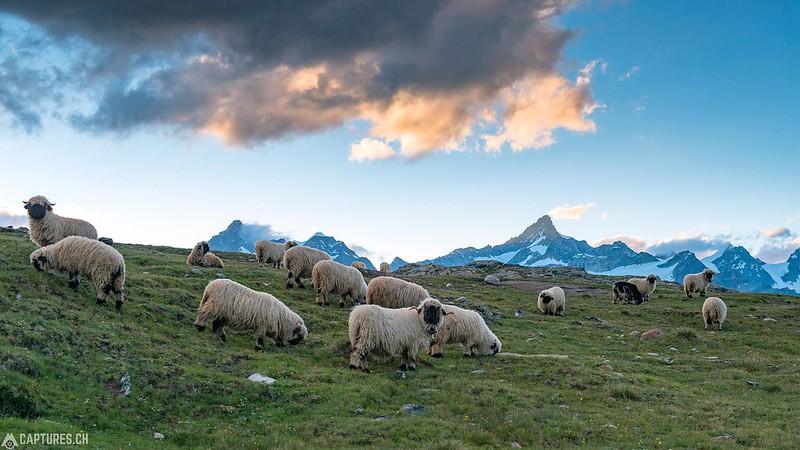 Sheeps - Riffelsee