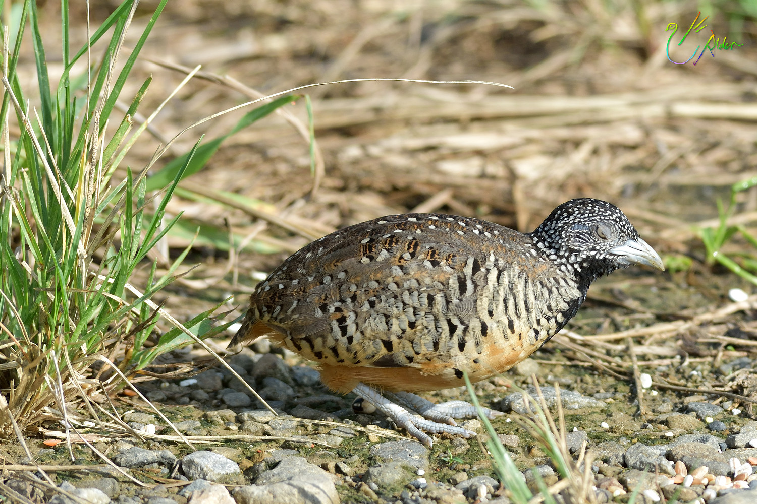 Barred_Buttonquail_1151