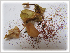 Begonia seeds from our garden, 28 Aug. 2013