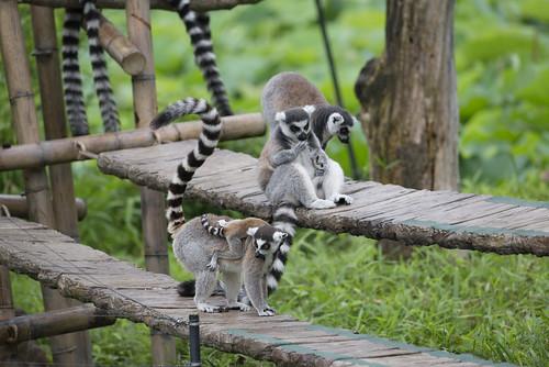 Lemur cattas