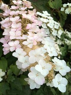 20160706-Pink & White Hydrangea