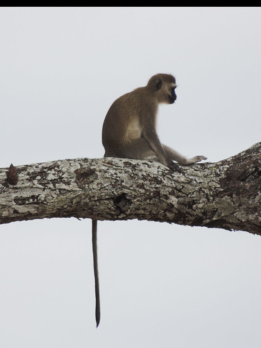 Tanzania Safari, Monkeys