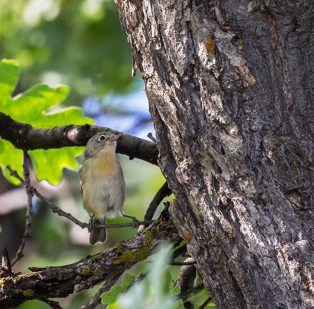Yellow-Rumped-Warbler-6-7D2-100816