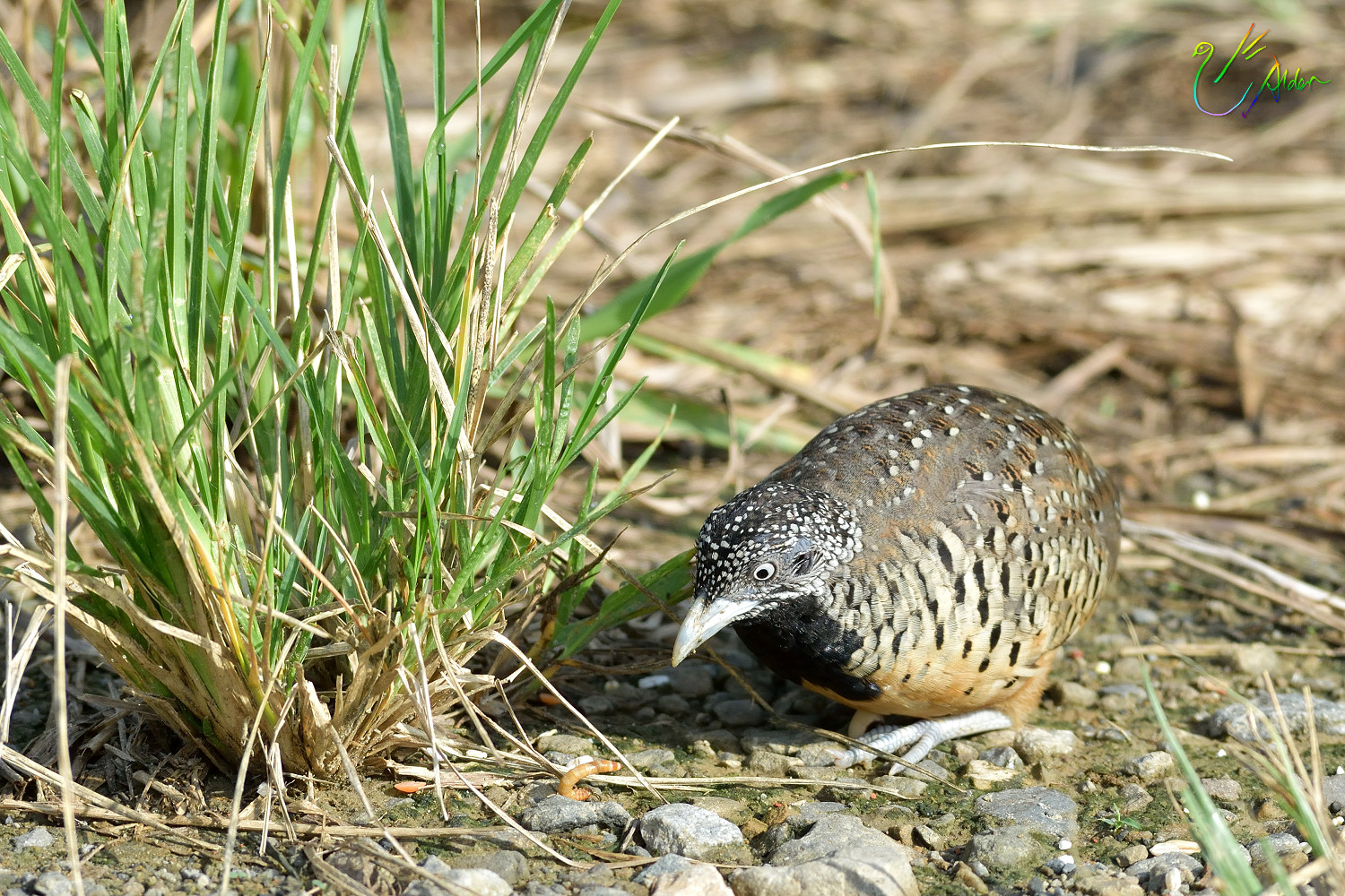 Barred_Buttonquail_1142