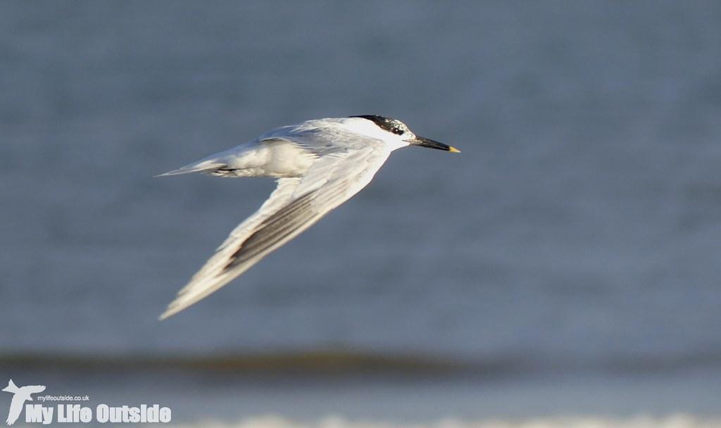 P1030941 - Sandwich Tern, Pembrey
