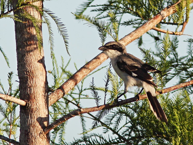 Loggerhead Shrike after cardinal 2-20160725