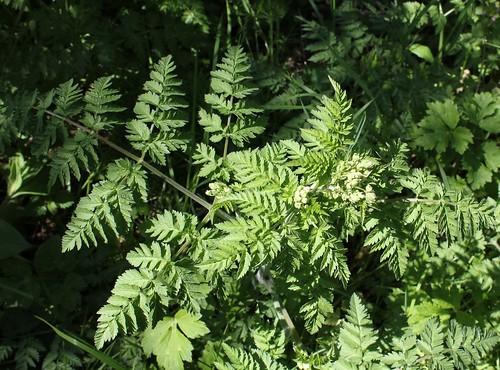 Anthriscus sylvestris (10)
