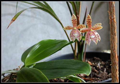 Phalaenopsis Meen Estrella, thalebani (1)