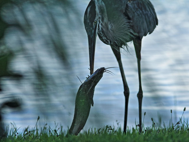 Great Blue Heron eating Walking Catfish 20160804