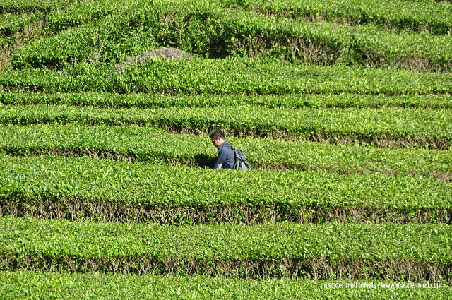 Exploring Rancabali Tea Plantation Indonesia