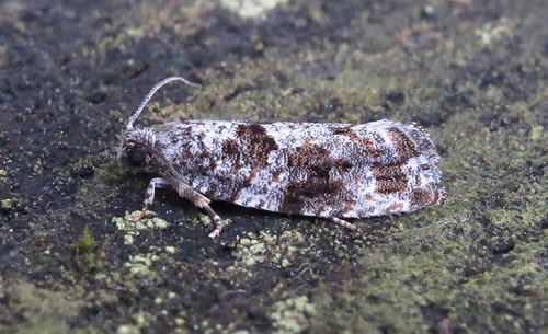 Gypsonoma oppressana Tophill Low NR, East Yorkshire July 2016