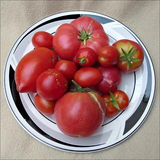 Tomato harvest, part 1