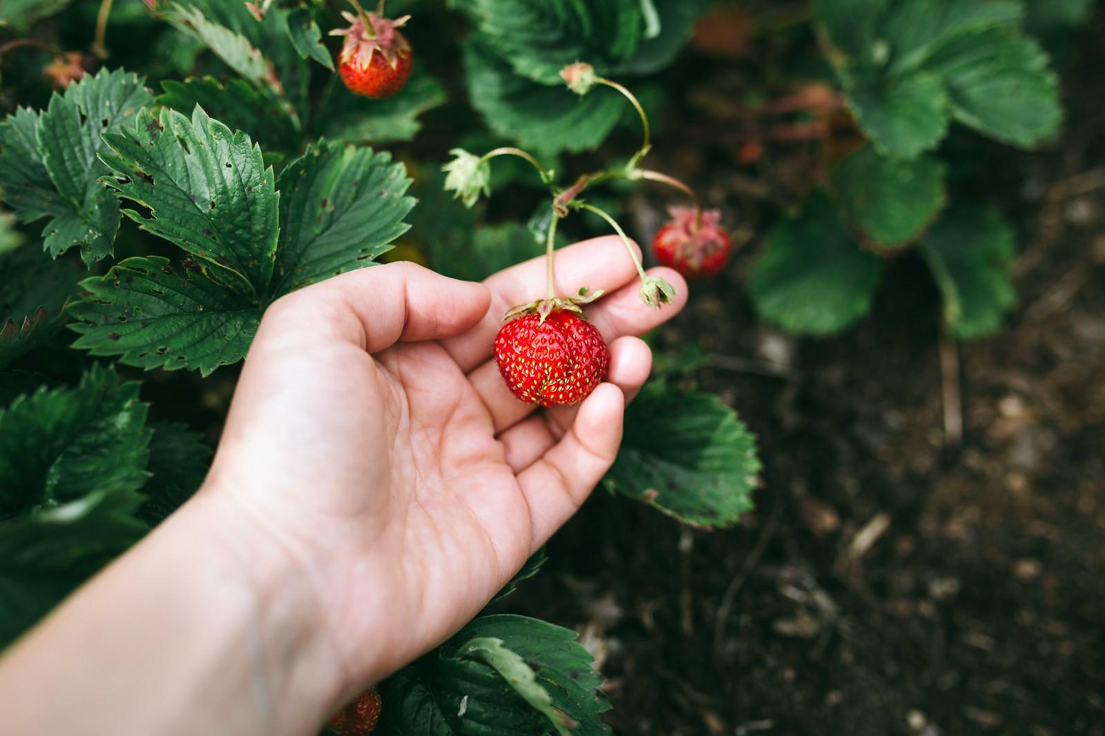 Plocka jordgubbar - Evelinas Ekologiska