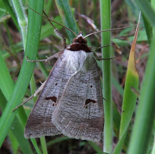 Blackneck Lygephila pastinum Tophill Low NR, East Yorkshire July 2016