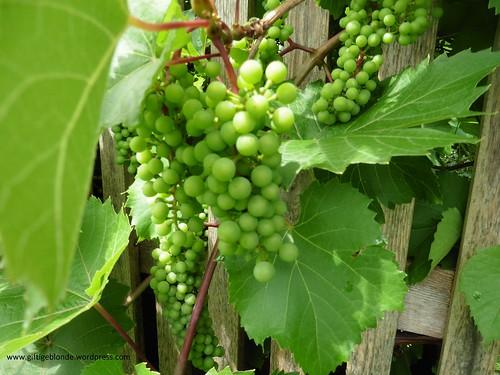 Aus Nachbars Garten - rote Weintrauben