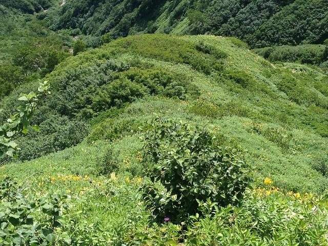 白山 平瀬道 眼下のニッコウキスゲ群落