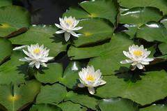 Lotus flowers in Koishikawa Korakuen