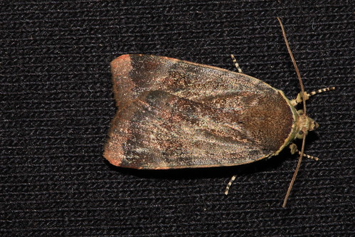 2111 Lesser Broad-bordered Yellow Underwing Noctua janthe ABH  73.348